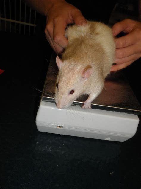 Did you know that rats can get Pneumonia too? - Emergency Vets